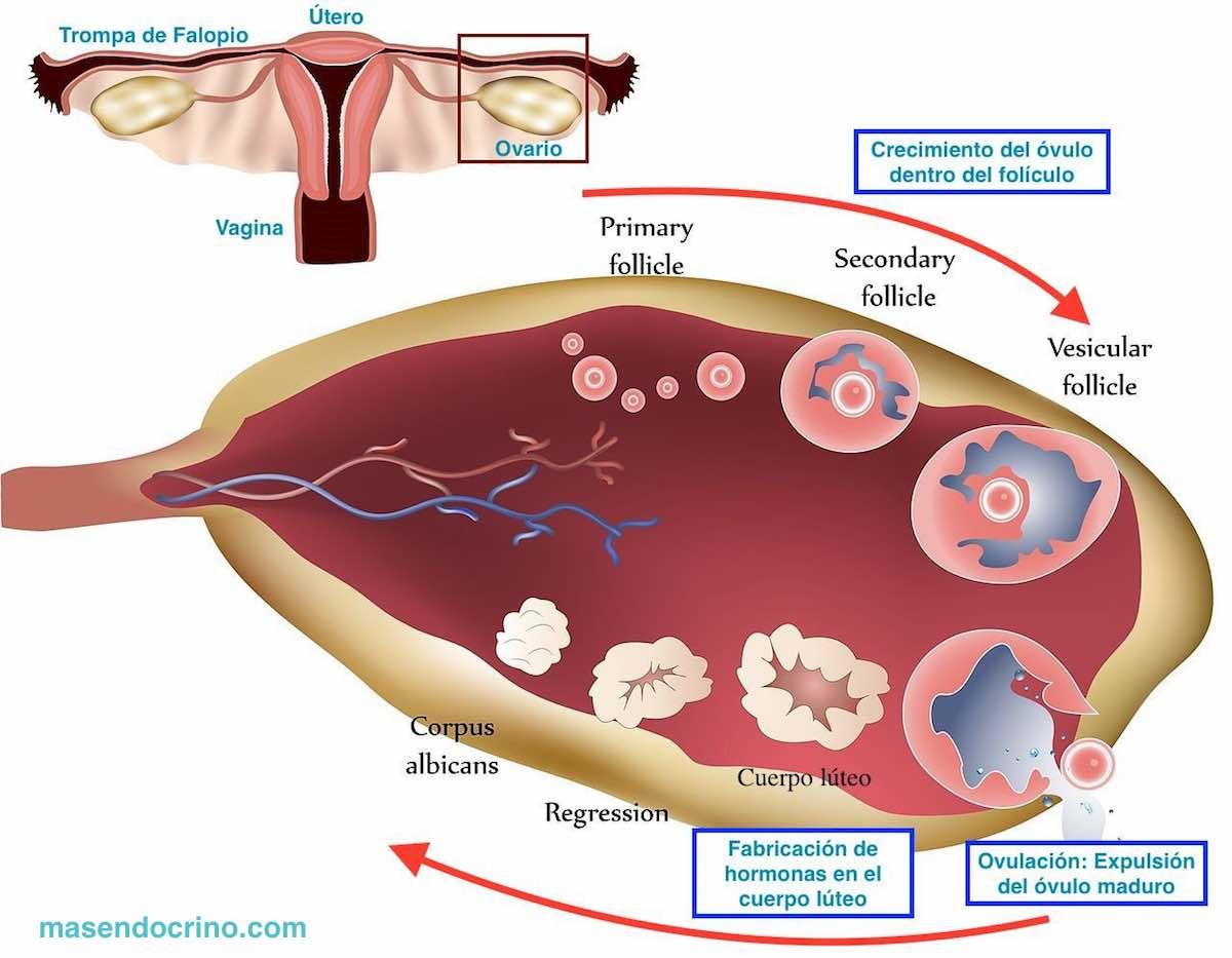 Esquema ciclo ovárico normal y ovulación. En el síndrome de ovario poliquístico no hay ovulación y se acumulan los quistes