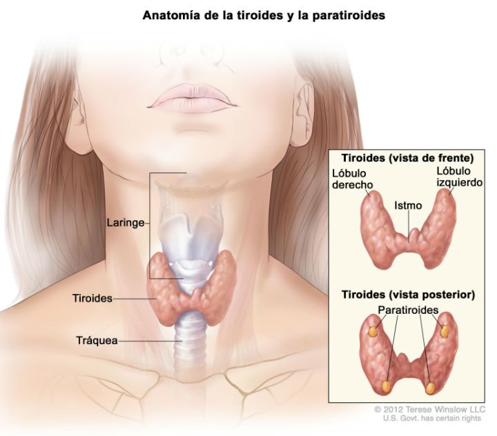 Operación de tiroides, anatomía básica del tiroides. Vista de frente y vista posterior con las glándulas paratiroides