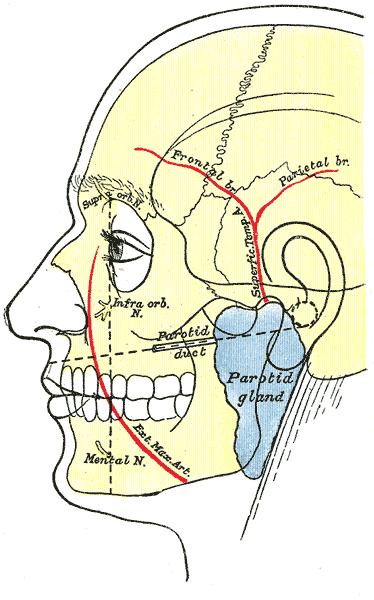 Anatomía de las glándulas parótidas, unas glándulas salivares que opueden afectarse tras el tratamiento con yodo radiactivo para el tiroides