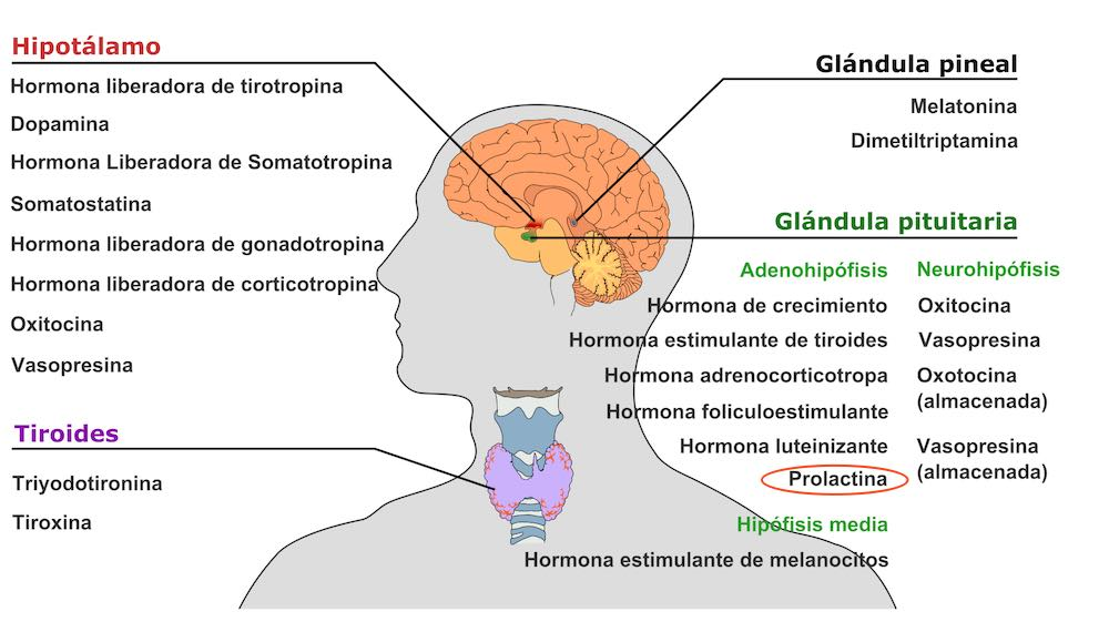 Prolactina alta. Hiperprolactinemia